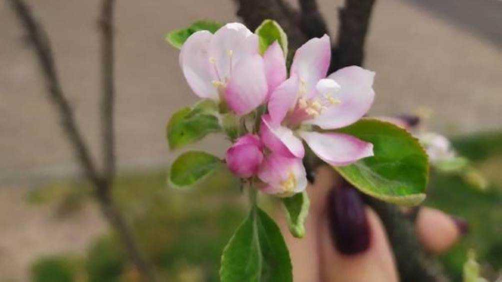 В Брянске из-за аномального тепла зацвела яблоня