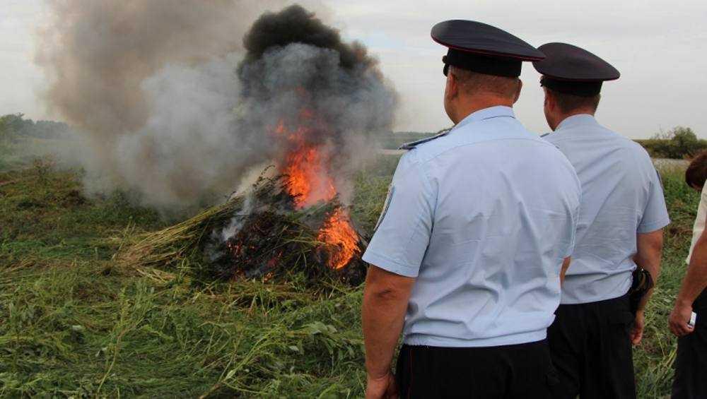 Брянские полицейские уничтожили 142 очага дикорастущей конопли и 1 посев