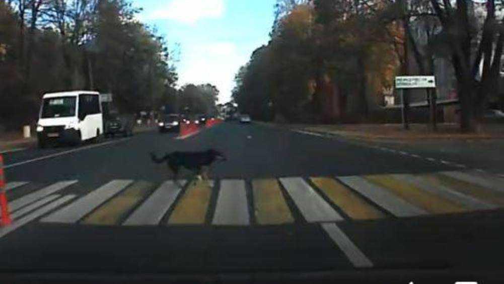Жителей Брянска умилила собака, переходившая дорогу по «зебре»