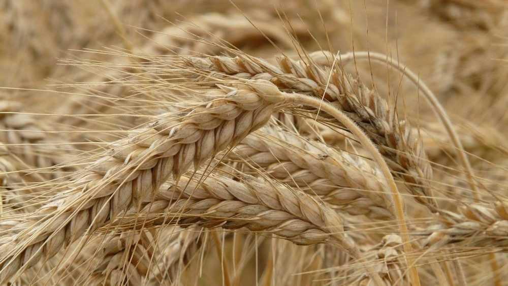 Стали известны брянские районы с самым качественным зерном