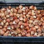 В Брянске началась высадка луковиц тюльпанов