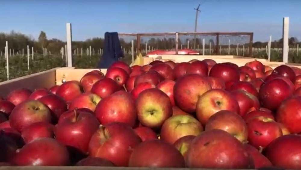 Яблоки могут стать еще одним брендом Брянской области