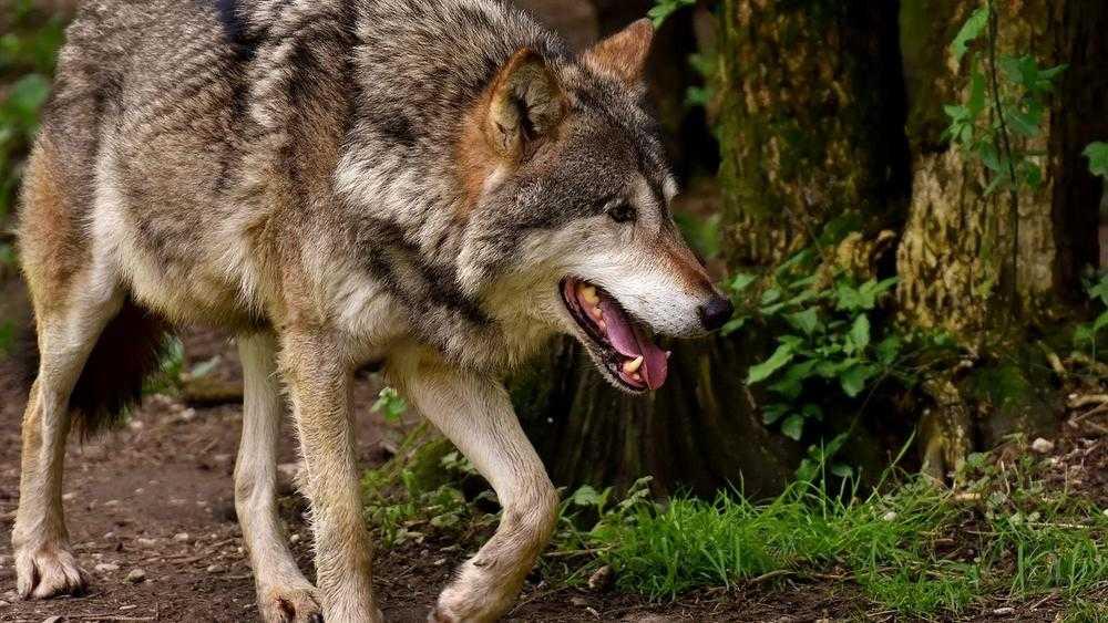 Названа численность волков в Брянской области