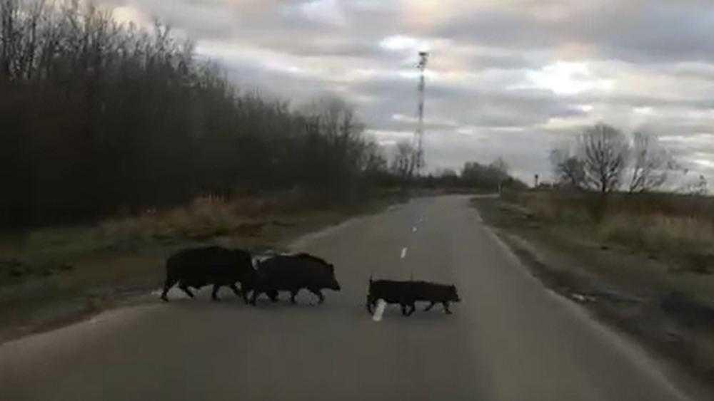 Брянский водитель снял видео о диких кабанах на дороге