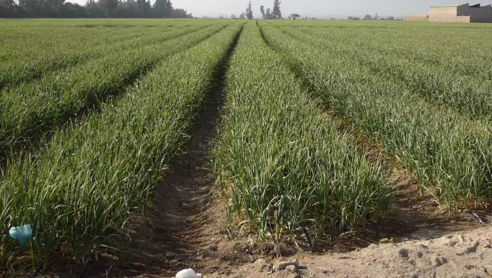 В Брянской области впервые под чеснок отвели огромное поле