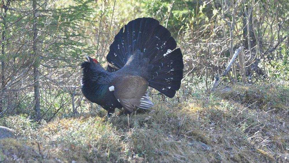 В заповеднике «Брянский лес» резко снизилось число глухарей