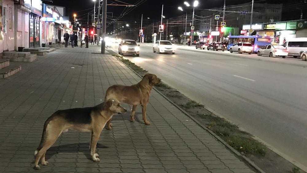 Брянские псы изучили правила дорожного движения