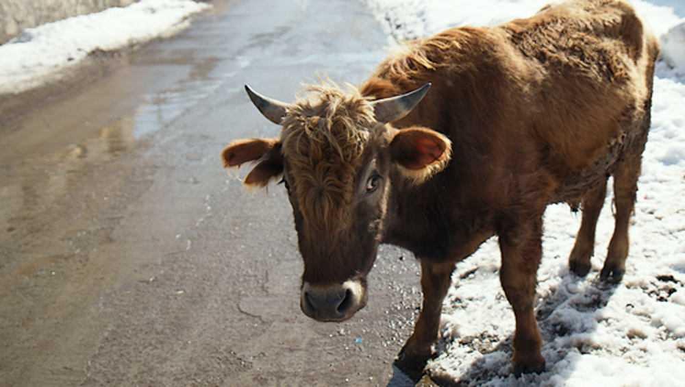 На трассе под Погаром «Форд» сбил корову