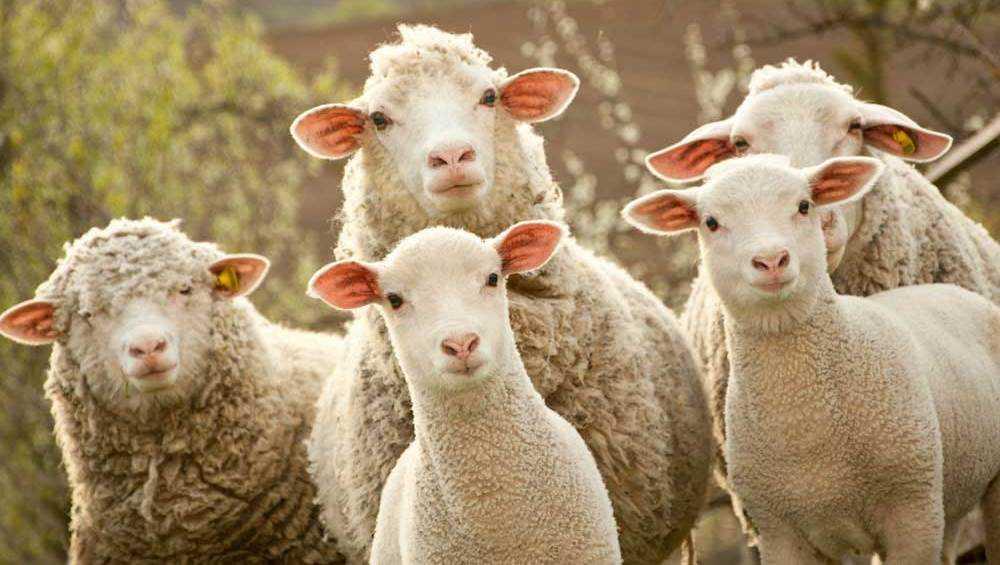 В Погаре двое мужчин похитили у фермерши трёх овец и барана