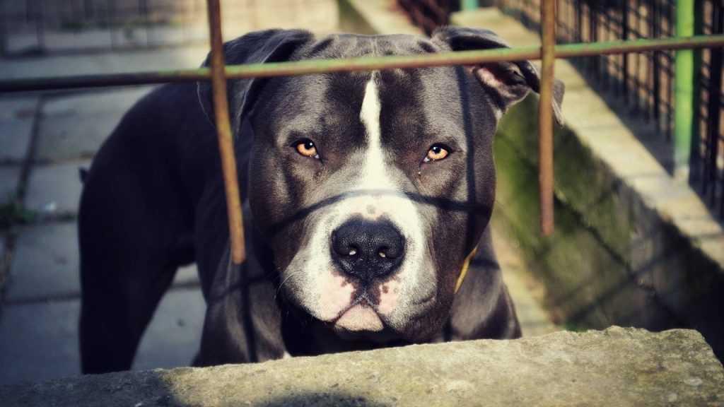 В Брянске бойцовая собака загрызла до смерти человека