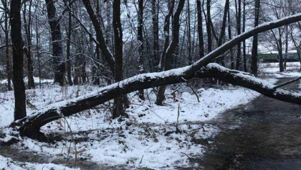В Навле Брянской области сгнившее дерево упало на дорогу