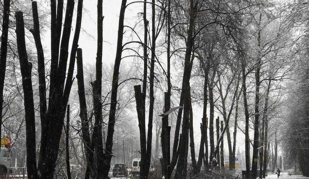 В Брянске изуродовали последнюю липовую аллею