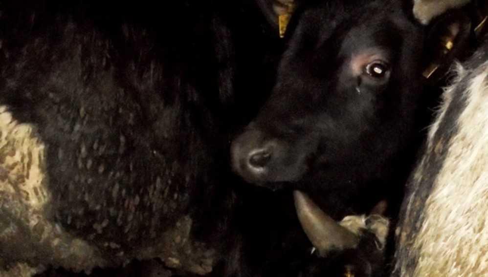 Под Суражом пограничники задержали микроавтобус с коровами