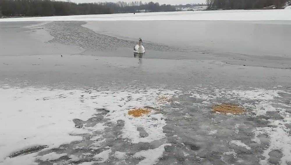 Под Стародубом над лебедем в замерзающем озере нависла угроза гибели