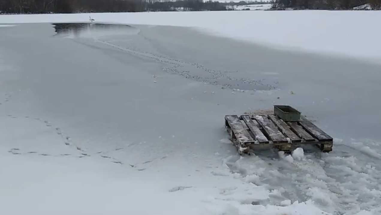 Судьбой замерзающего лебедя озаботились власти Стародуба
