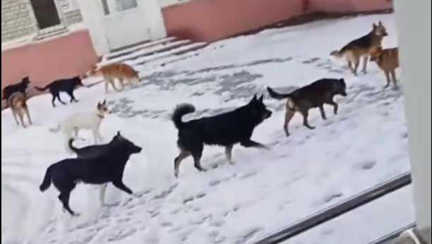 Стая собак напугала брянцев у входа в детскую поликлинику