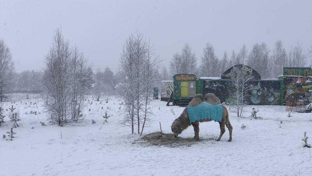 Грустного верблюда и ламу засыпало снегом возле брянского поля