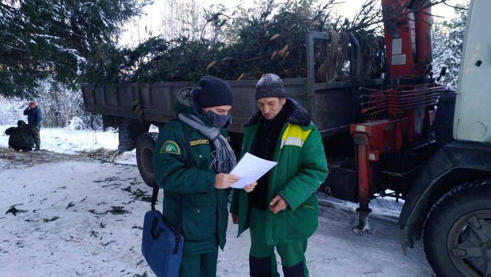 Брянские лесники не нашли незаконных вырубок елок