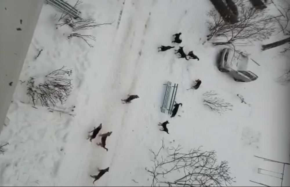В Брянске стая бродячих собак взяла в осаду жителей многоэтажки