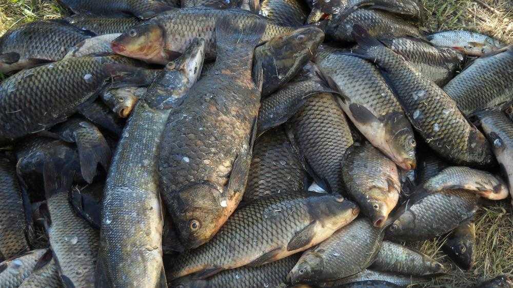 Брянцам пообещали, что Десна будет кишеть рыбой и раками