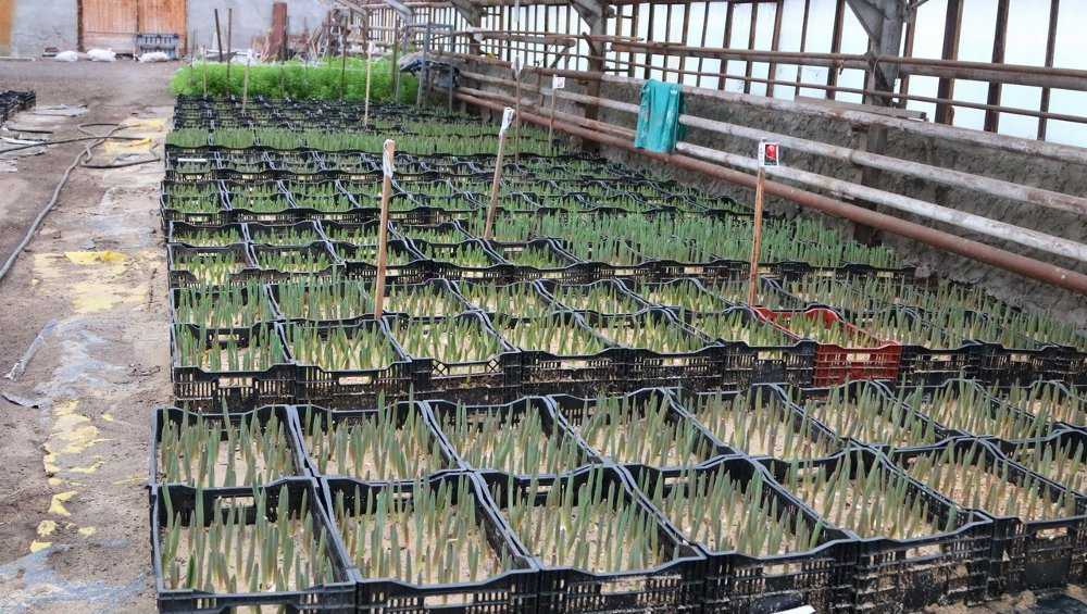 В брянских теплицах взошли 19 тысяч тюльпанов