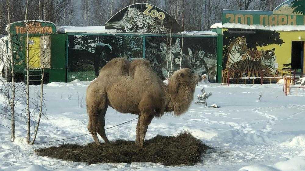 Под Брянском из верблюда сделали зимнего зазывалу