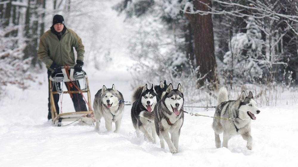 В брянском поселке после снегопада стали ездить на собачьих упряжках