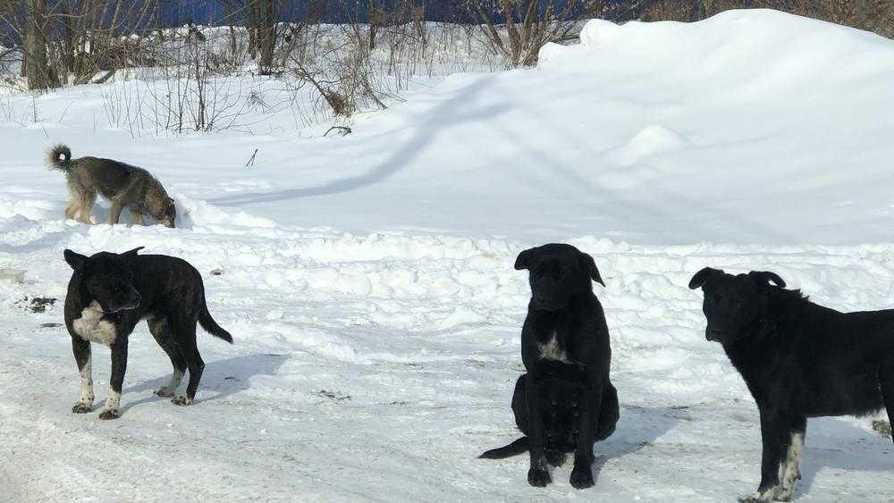 Объяснилась вспышка активности брянских чиновников в собачьем деле