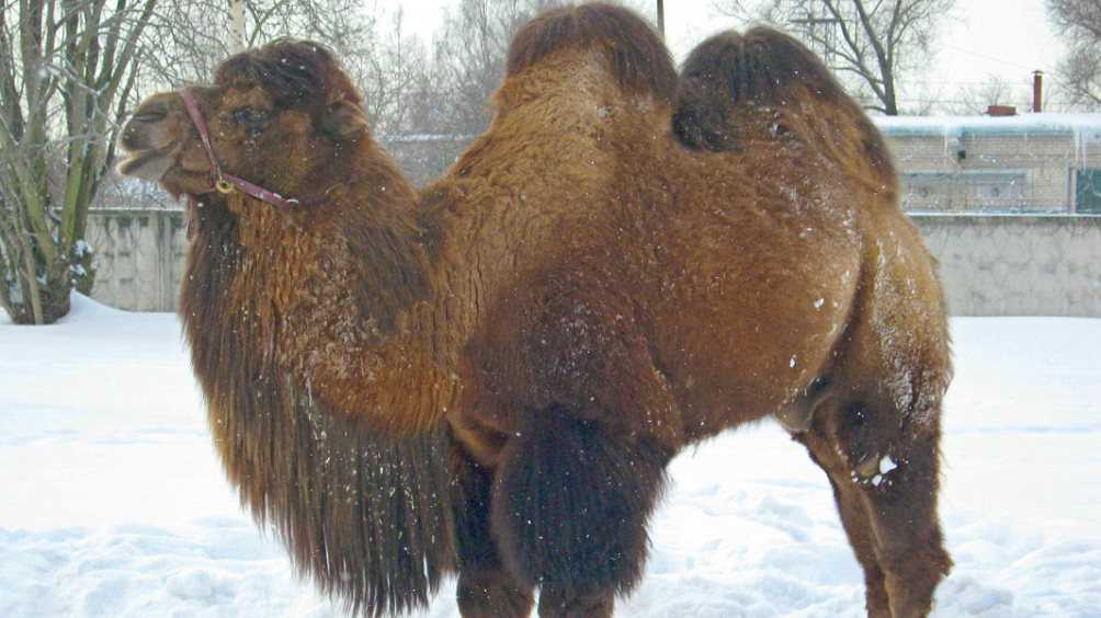 В Локте на конезаводе поселятся верблюды Саня и Таня