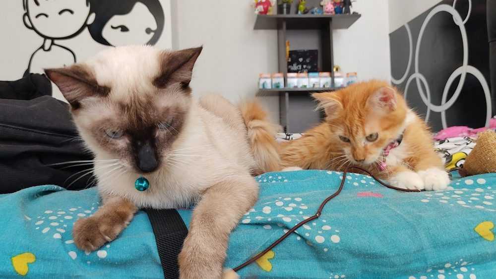 В Брянске пройдет выставка кошек