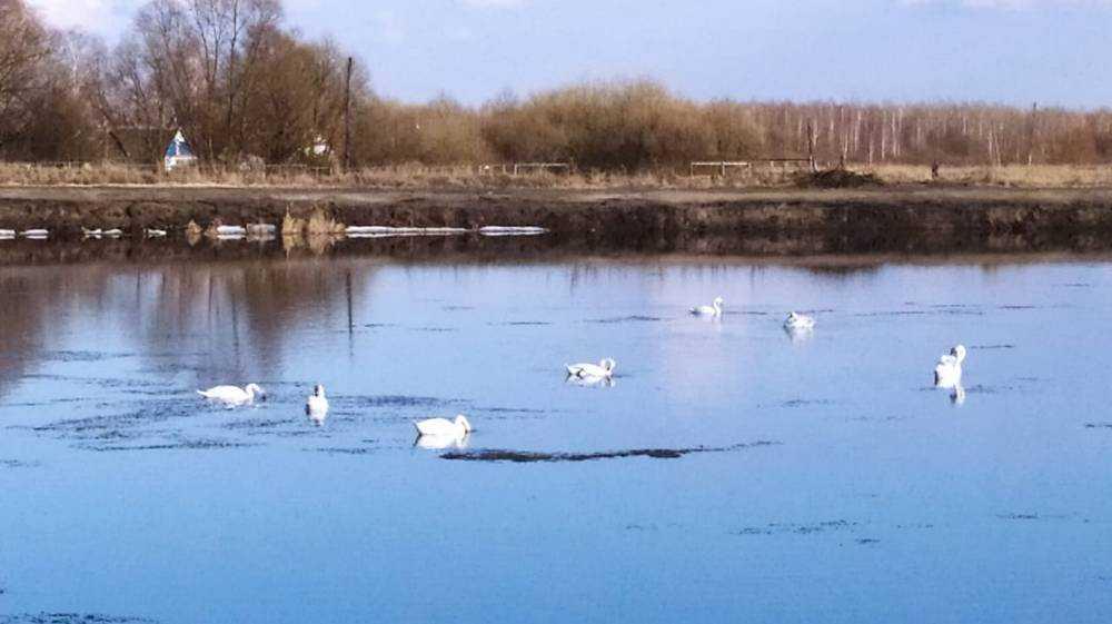 В Локте на воду романовских прудов впервые опустились 12 лебедей