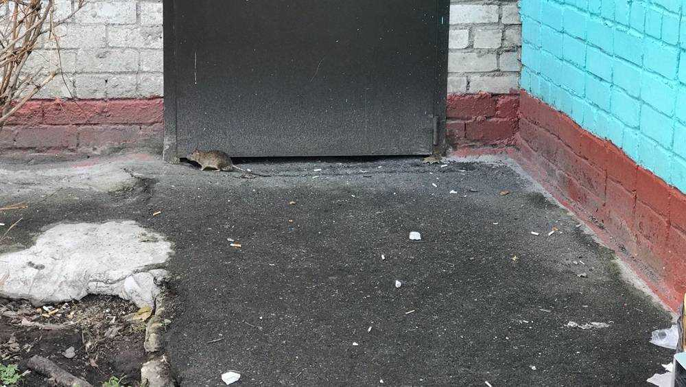 «С этими коммунальщиками нас сожрут»: полчища крыс начали наступление на Брянск