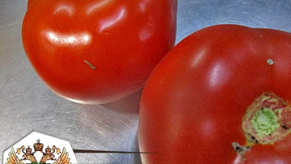 Из Брянской области в Турцию вернули 40 тонн заражённых томатов