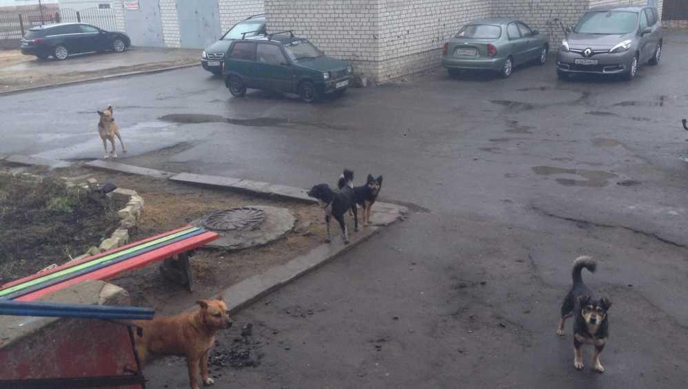 В Клинцах своры бродячих псов захватили дворы многоэтажек