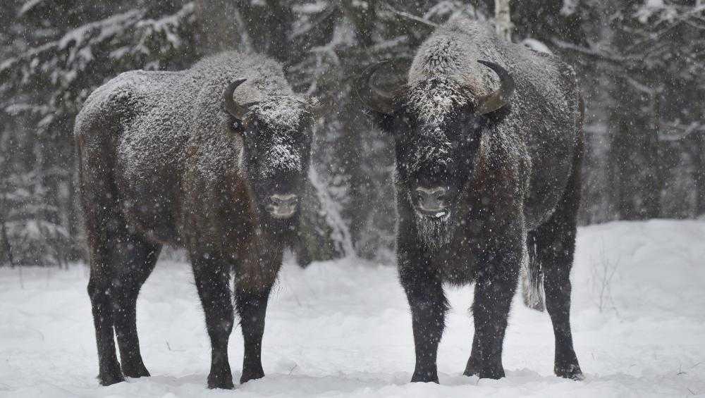 Для подкормки зубров в заповедник «Брянский лес» привезли 8,5 тонны овса