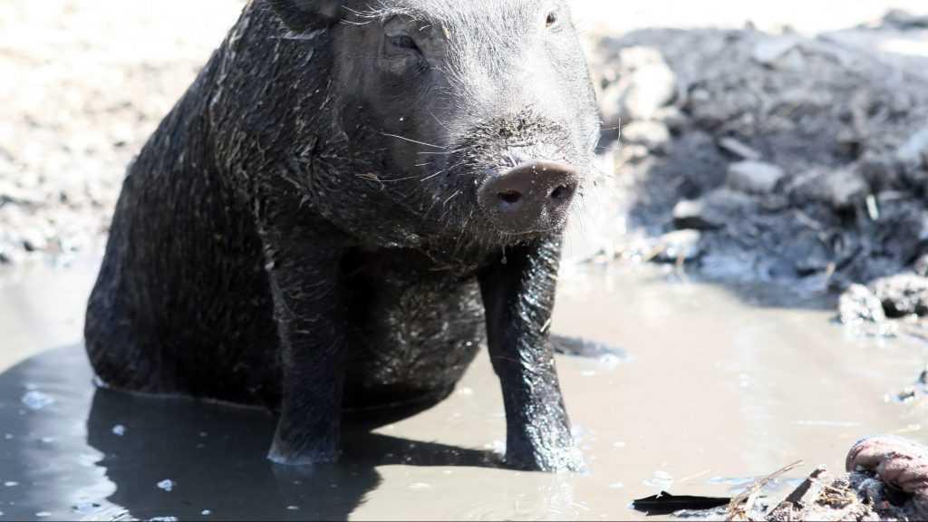 В Почепском районе приостановили строительство крупного свинокомплекса