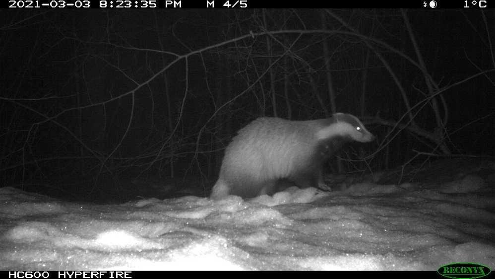 В «Брянском лесу» рысь пришла в гости к проснувшимся барсукам