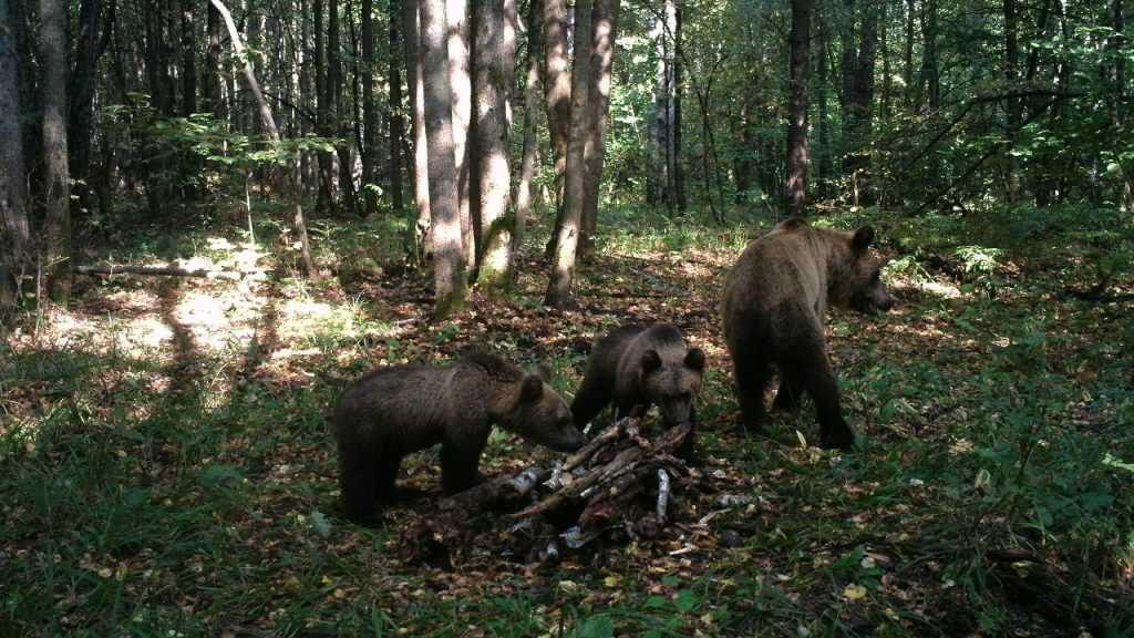 Число просмотров видео гигантского брянского медведя превысило 1 млн