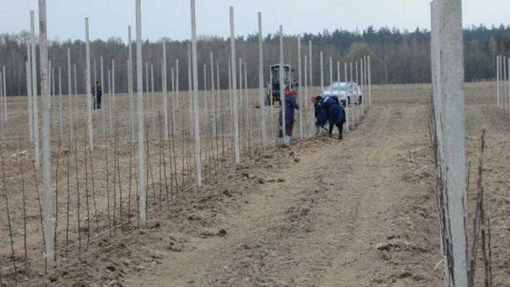 В Брасовском районе Брянской области на 35 гектарах посадили яблоневый сад
