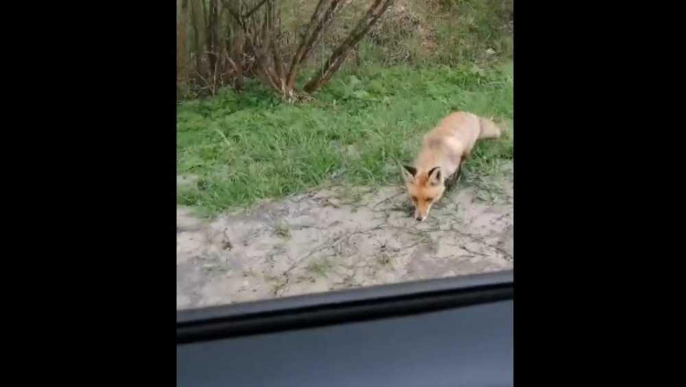 В Брянской области автомобилистов удивили бесстрашные лисы на трассе
