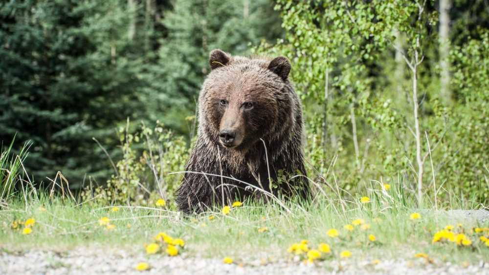 Число просмотров видео уникального брянского медведя приблизилось к 1 млн