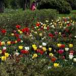 В Брянске распустились тысячи тюльпаны
