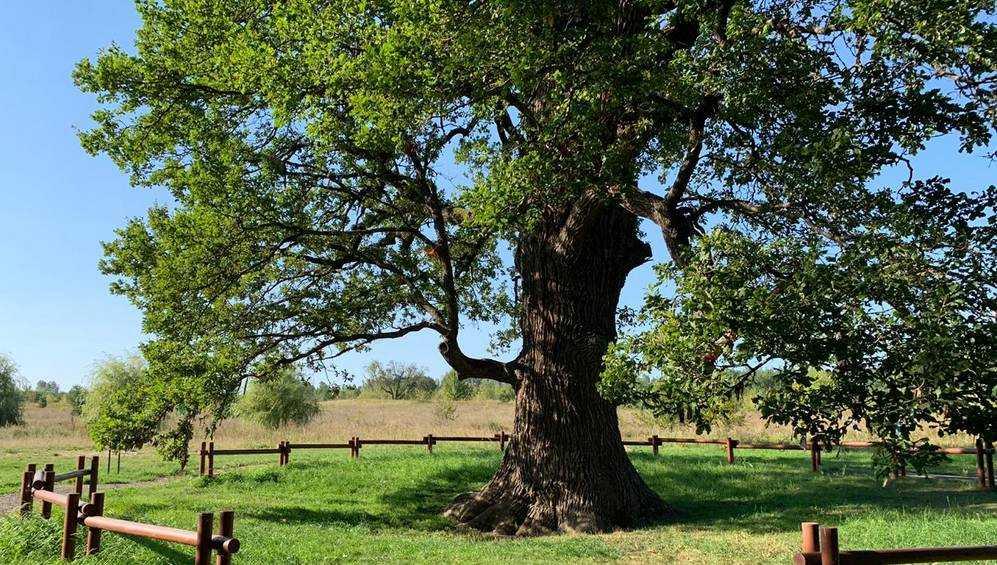 В Брянской области призвали спасти от гибели знаменитый Партизанский дуб