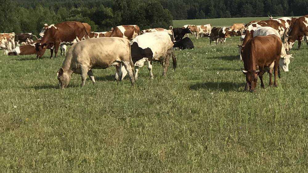 В Брянске у озера Орлик коровы заметили на пляже отдыхающих бездельников