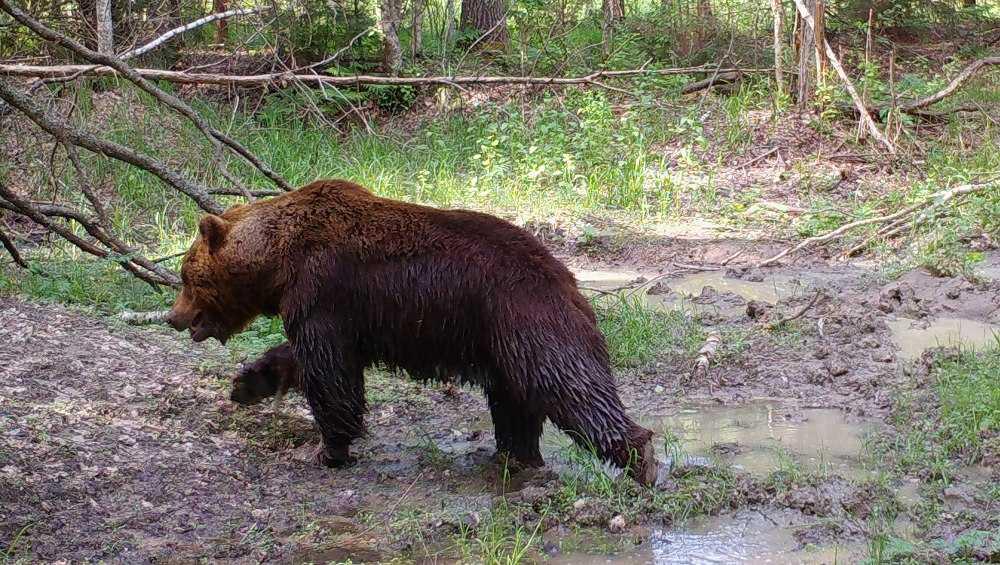 В Брянском заповеднике во время гона медведи устроили драки между собой
