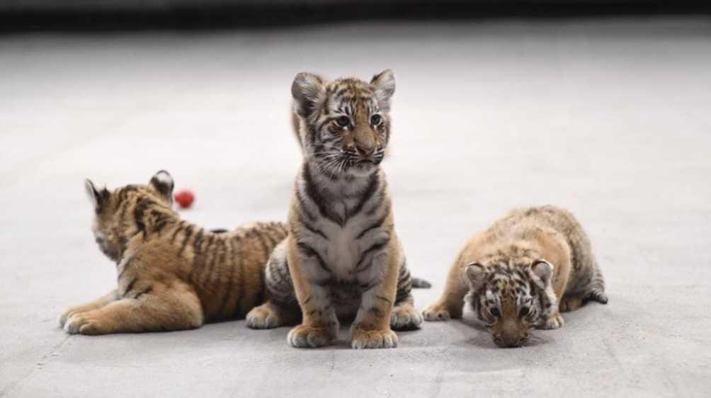 В брянском цирке с апреля родились четыре тигрёнка