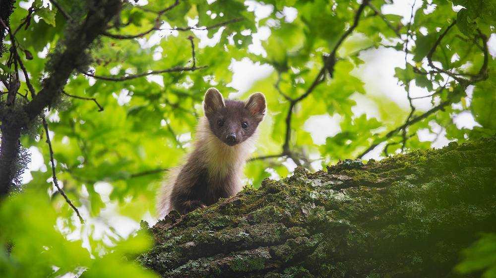 Орловский фотограф рассказал о съемке куницы в заповеднике «Брянский лес»