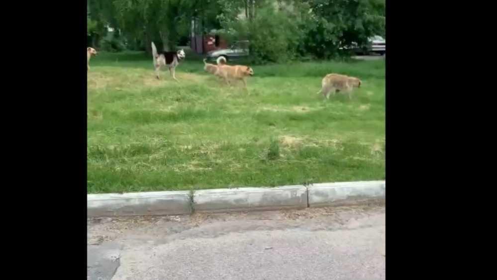 В Брянске свора бродячих собак захватила территорию возле школы