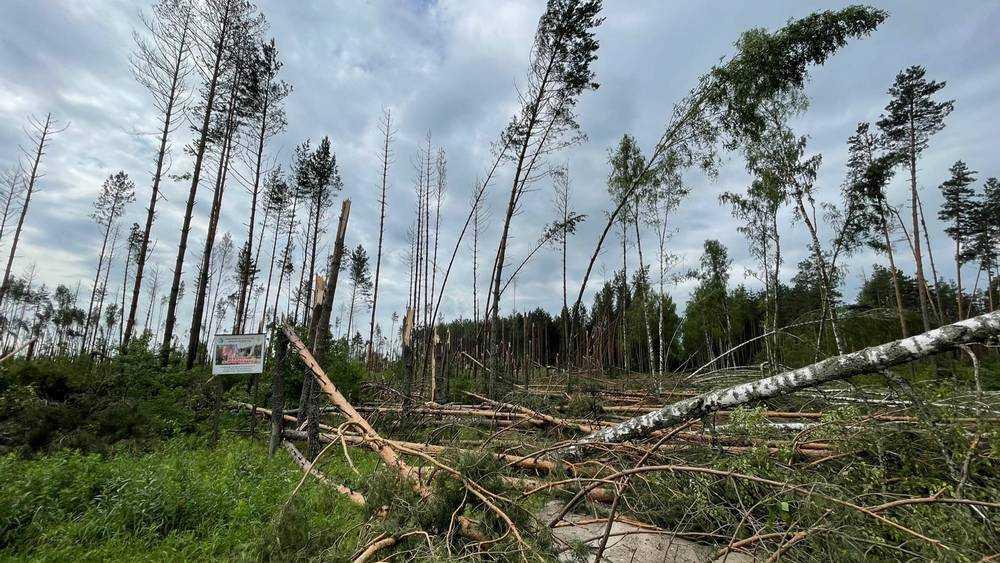 Возле Сельцо Брянской области ураган сломал сотни деревьев
