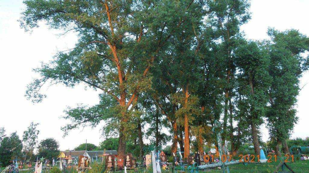 Жители брянского села пожаловались на опасные деревья и бездействие чиновников